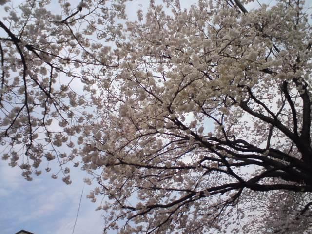桜道が満開 と 送別会
